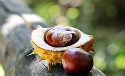 chestnut-1698741_640